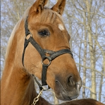 Чем славится алтайская лошадь