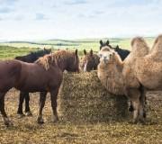 Отношения лошадей с другими животными