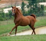 10 факто в лошадях чистокровной верховой породы