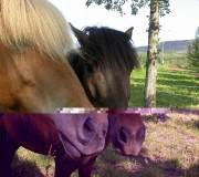 Особенности развития исландской лошади