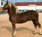 Бретонская порода лошадей