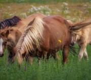 5 фактов о печорской породе лошадей
