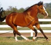 Ирландская упряжная лошадь