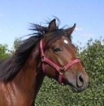Знаменитые лошади баварская теплокровная