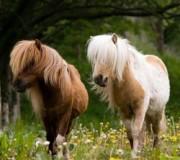 13 фактов о пони