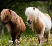 Английский пони
