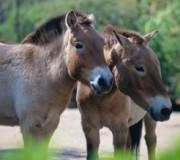 7 фактов о предке мустанга – тарпане